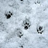 Pawprints in the snow, Jan 2021