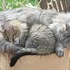 Fledermaus 11 weeks old cuddled up to Gateaux