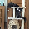 Beamish and Siri's new cat tree,Oct 2016
