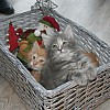 9 week old Christmas Kitten Basket